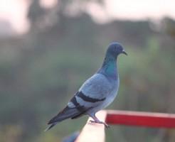 鳩のベランダ対策や撃退のコツ